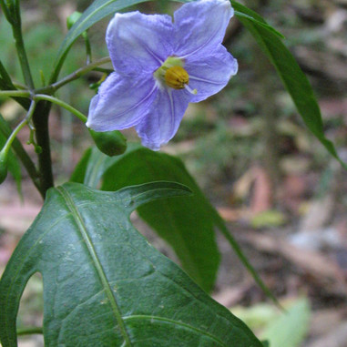 Purple Kangaroo Apple - Solanum Iaciniatum