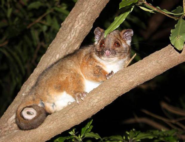 Ring Tail Possum - Pseudocheirus Peregri