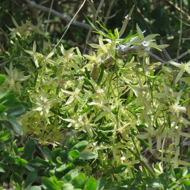 Small Leaf Clematis - Clematus Microphylla