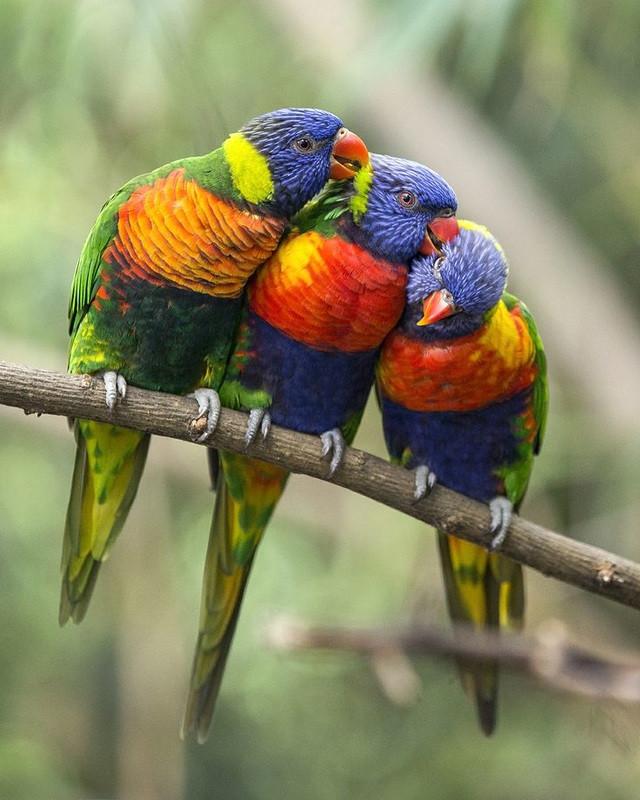 Rainbow Lorikeets - Trichoglossus haemat