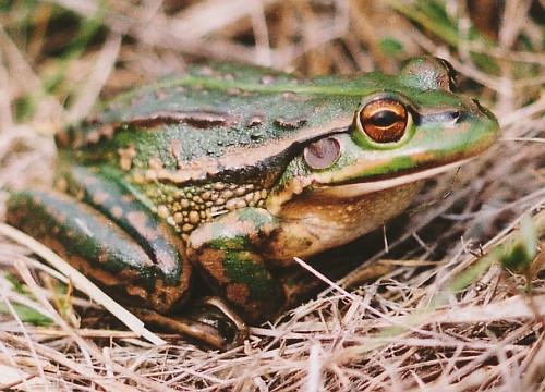 Growling Grass Frog - Litoria raniformis