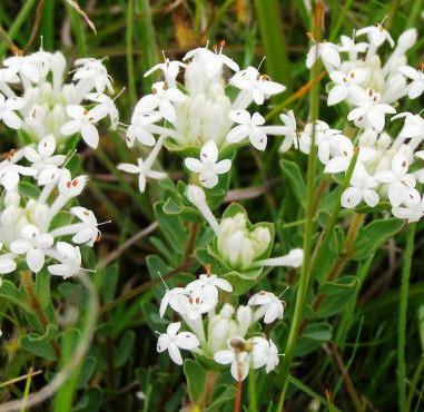 Common Rice Flower - Pimelea Humilis