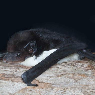 Yellow Bellied Sheathtail Bat - Saccolai