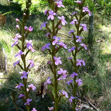 Grass Leaf Trigger Plant - Stylidium Graminifolium