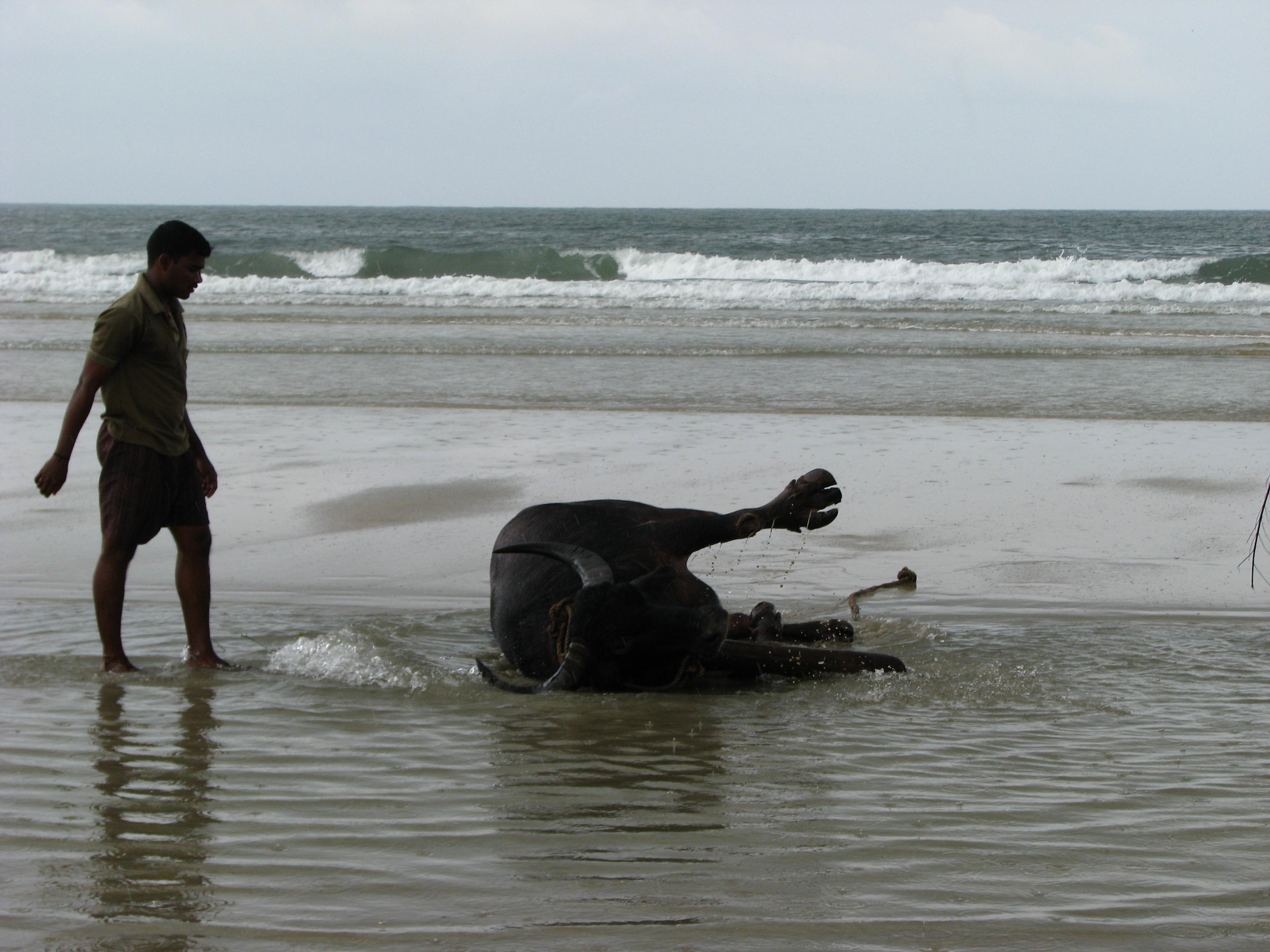 Купание буйвола