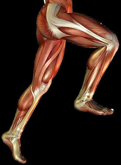 Lower Limb.png