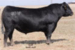Medicine Rocks Ranch PA Power Tool 9108 Black Angus bull sire