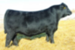 Medicine Rocks Ranch SAV Recharge 3436 Black Angus bull sire