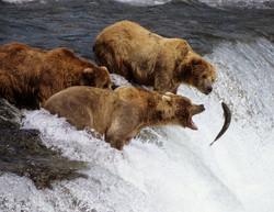 Медведи охотятся за лососем