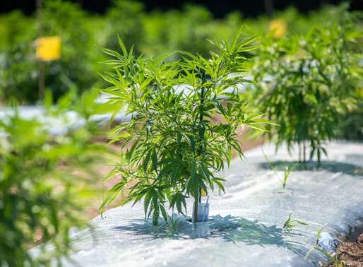 Frequently Updated Questions: Hey, Paul Does Growing Hemp Qualify for the Right-to-Farm Defense?