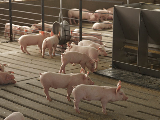 Minnesota Court Upholds Granting Conditional Use Permit For Feedlot