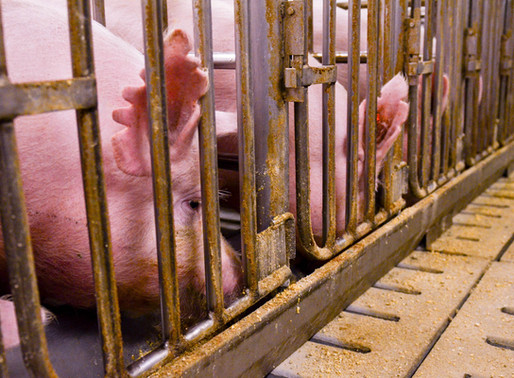 Court of Appeals Finds Indiana Hog Farm Entitled to Right-to-Farm Defense, Upholding Its Constitutio