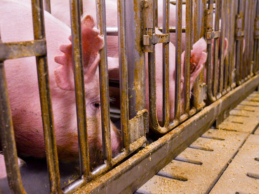 CourtFinds Indiana Hog Farm Entitled to Right-to-Farm Defense, Upholding Its Constitutional