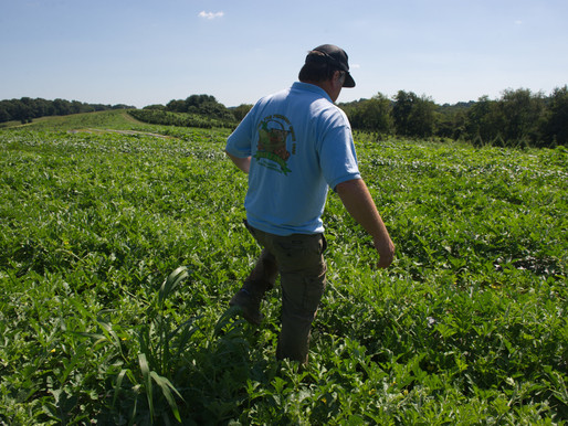 Gleaning Unharvested Crops and Crop Insurance or NAP Coverage