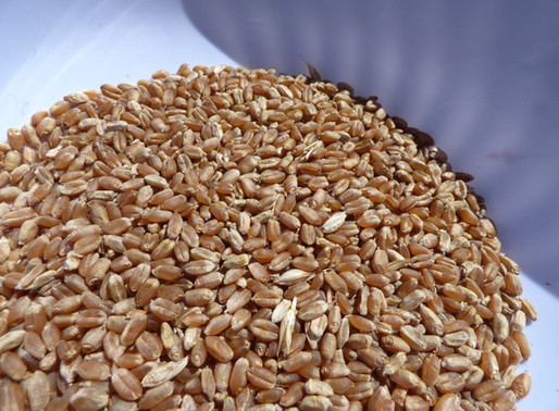 Patent and Other Limitations on Using Saved Seeds Still Apply to Cover Crops