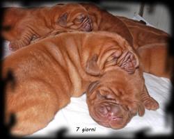 Cuccioli Dogue de Bordeaux