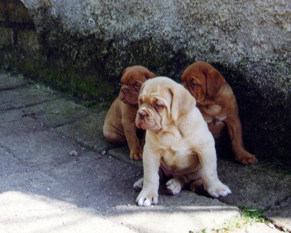 Cuccioli di Dogue de Bordeaux