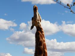 Zoo01.2-Giraffe all neck crop