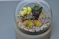 Variety Succulent Globe213