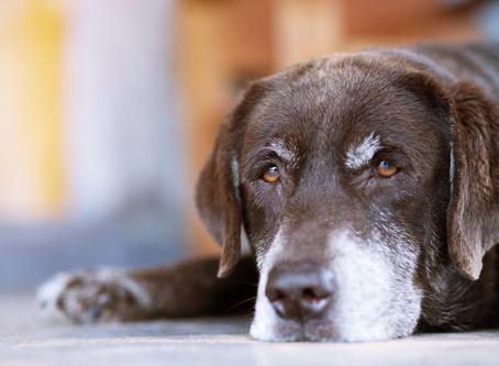 Cuidados a se ter com cães idosos