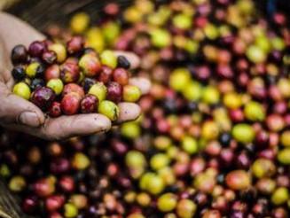 Relatório de ONG dinamarquesa revela escravidão e trabalho infantil na produção de café no Brasil