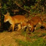 Family Fox