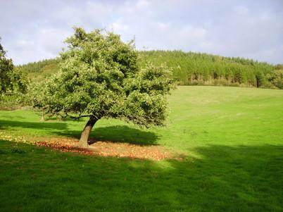 Devon Cider Tree