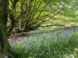 Bluebells, West Dorset