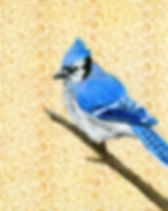 Bluejay_Web.jpg