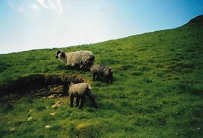 Sheep in Castleton