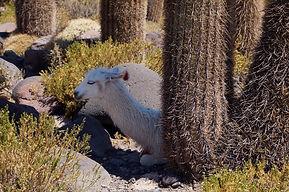 Lama on Isla Incahuasi