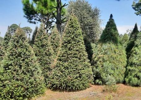 Productores de 12 estados del país ponen a la venta más de medio millón de Árboles de Navidad