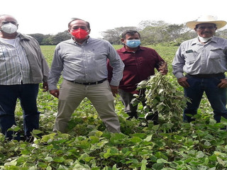Agricultura  impulsa tres variedades mejoradas de frijol tipo Jamapa
