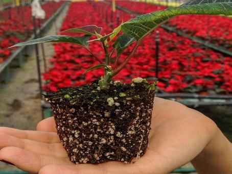 Productores garantizan el abasto nacional de flor de Nochebuena