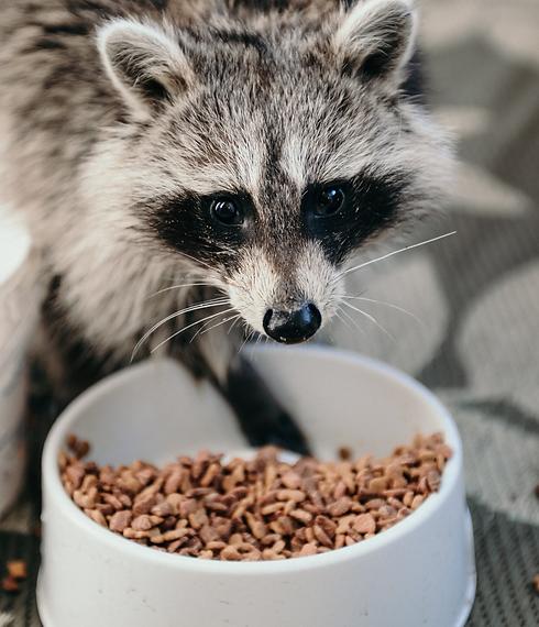 Raccoon%20eating_edited.png