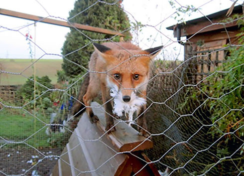 fox-proof.jpg