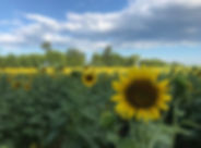 sunflowers.liberty mills farm.jpg