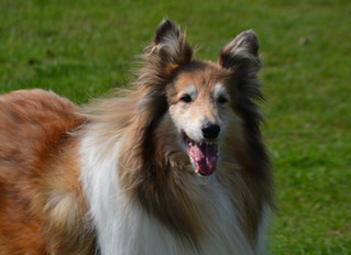 Degenerative Joint Disease in Dogs