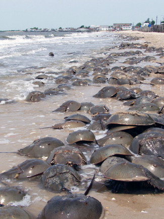 Dollars on the Beach: The History of Horseshoe Crab Management