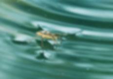 gerridae-1415330_1920.jpg