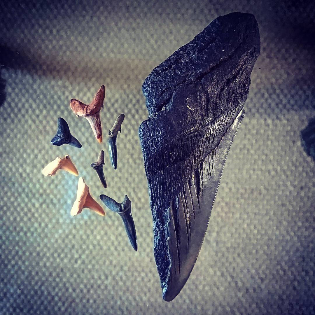 Megalodon tooth and fossil shark teeth