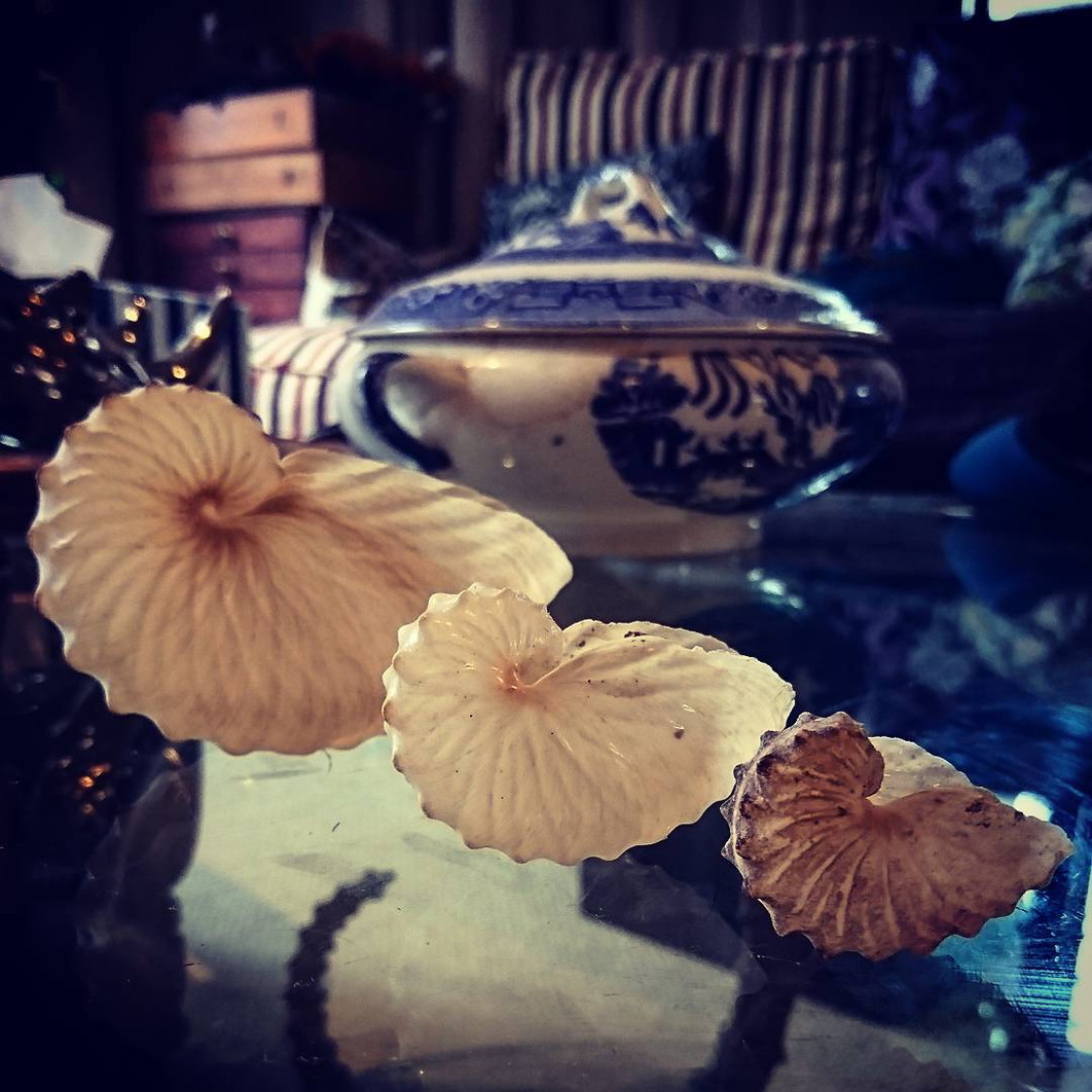 Brown paper nautilis shells, or argonauts