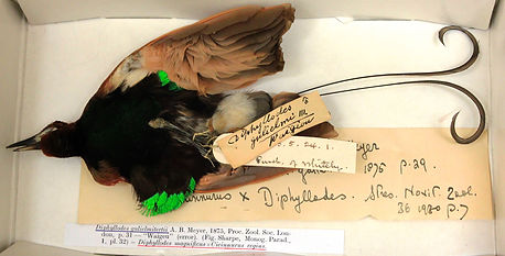 Bird of Paradise NHM Tring Copyright N.Lawrence