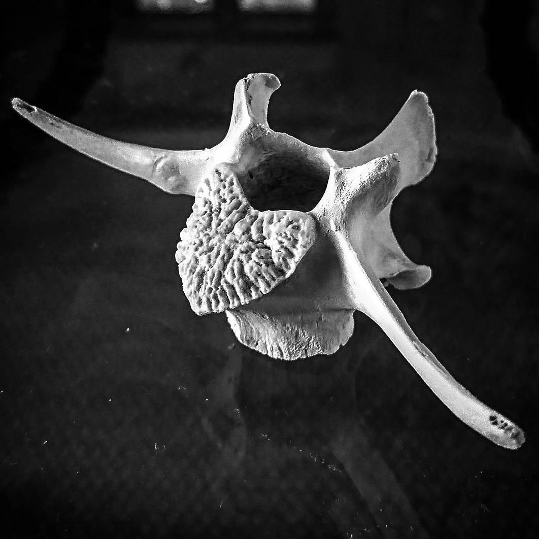 Fallow deer vertebra