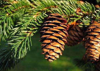 Picea_rubens_UGA.jpg