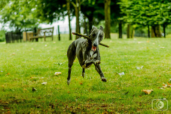 Pax - the whippet