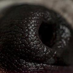 close up - macro of a dog nose.