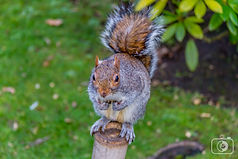 Squirell in Holland Park