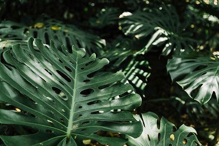 fresh-monstera-leaves_LR.jpg