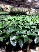 Arabica Seedling